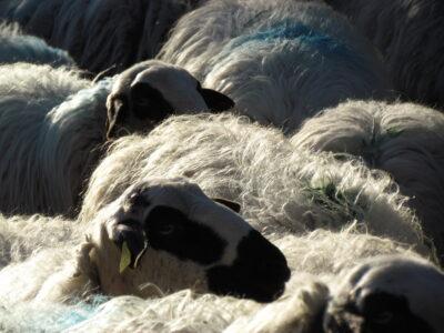 Hablando sobre el futuro de la ganadería extensiva en Las Cortas de Blas (II)