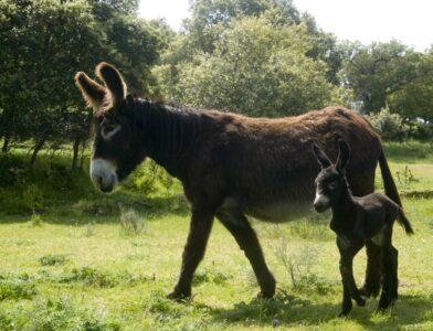 Algunas reflexiones sobre las aportaciones tangibles e intangibles de las razas de ganado locales