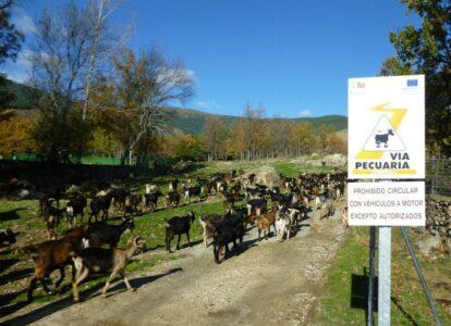 'Adopta una cabra de Guadarrama': una iniciativa de apoyo a Javier Colmenarejo y la quesería Santo Mamés