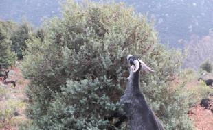 Cabra alcanzando 2 metros para ramoneo