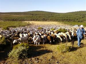600ovejas dispuestas a alimentarse a tope camino de Sanabria