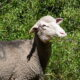 Nuevos trabajos de investigación apoyan el papel climático de la ganadería extensiva